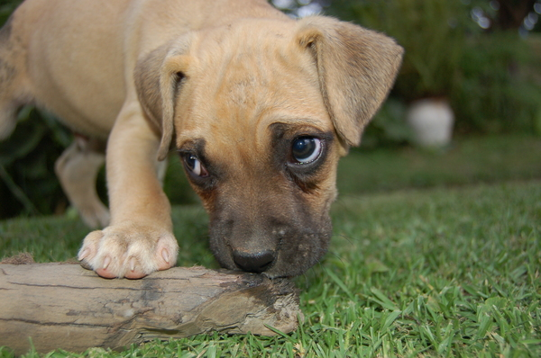 hungry puppie 2: hungry puppie eating wood