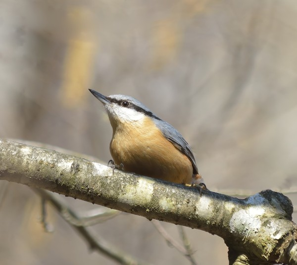 Nuthatch bird: no description
