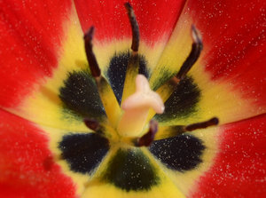 Red Poppy: Red Poppy macro. Free to use however you wish