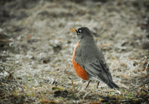 One Robin: Photograph