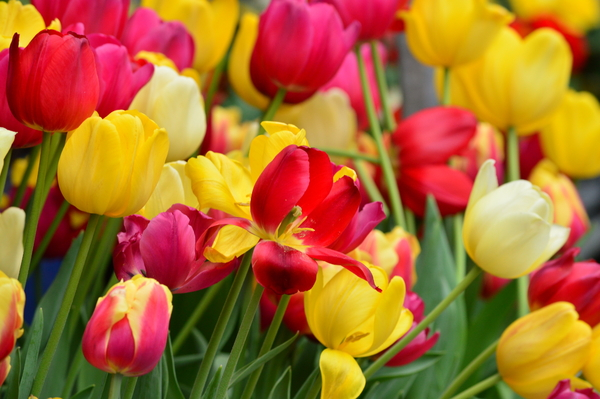 Colorful Tulips: Tulips
