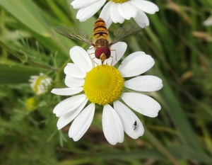 Hoverfly on chamomile: hoverfly on chamomile