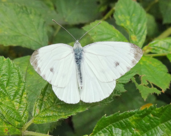 White butterfly: White butterfly on leaf