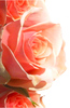 rose border: This is intended for use as a border for media, when replicated verticaly it forms a continuous image.