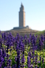 Lavandula & Tower: Lavandula angustifolia en A Coruña, Galicia, Spain.