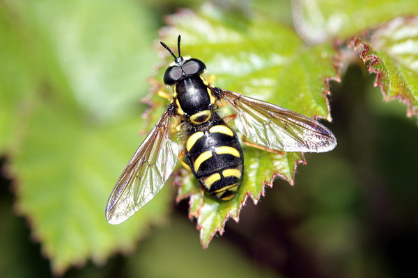 Insects:Hoverfly: Insects: Hoverfly
