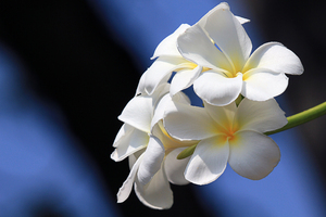 Frangipani: Plumeria. A favorite for leaving at the temples in Sri Lanka.