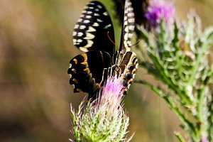 Spicebush Swallowtail: Butterfly enjoying the nectar from a Thistle plant.