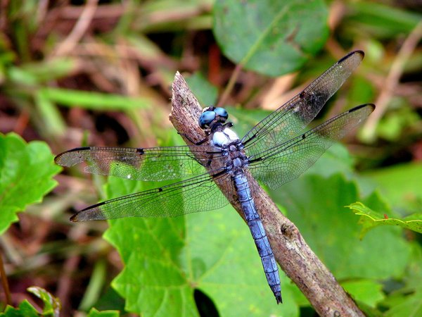 Lookin at Me?: Found this dragonfly eying me up, so I had to shoot him!!!!!