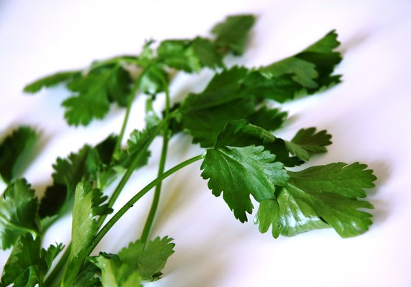 Coriander leaves (herb): Coriander leaves