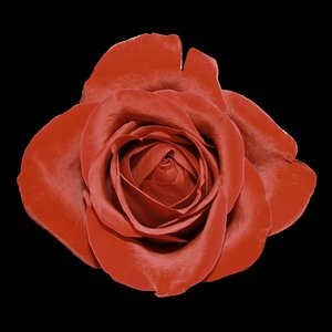 Rose On Black: Cutout of rose on a black background