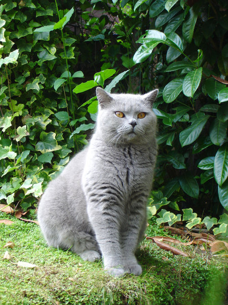 Biffi by the river: British Blue Cat. He is getting bigger by the day. Posing for the camera by the  river in my garden.