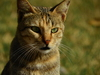 Wild cat Green eyes: Wild cat with Green eyes spotted and photographed on Green Grass