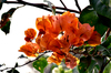 The Bougainvillae flowers: The Bougainvillae flowers do not have petals but modified, brightly-coloured leaves that touch each other along the margins. The true flowers are hidden within bracts. Bougainvillae is a very popular tropical flower that can be grown along a fence to make