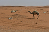 Camels found in the desert: Desert landscape in red sand and some rocks found . This is in the heart of Saudi Arabian desert.  Sandy hills, called sand dunes, one next to the other one continuously moving and changing locations.  Camels usually are free and can be found anywhere on
