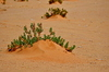 Desert plants: Green plants in the desert, called desert plants or desert life . Desert has its own beauty and desert photography is so interesting when it includes green life in the sand dunes of a desert,