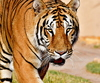 Wild Tiger: The Bengal tiger (Panthera tigris tigris) is the most numerous tiger subspecies in Asia. The Bengal tiger, also known as the Indian Tiger, is the most common tiger and is a cultural icon. The Bengal tiger, or Royal Bengal tiger, roams a wide range of habi