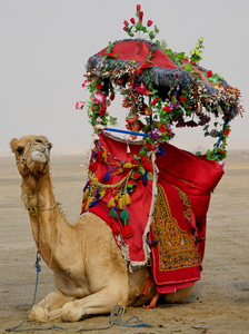 Riding camel in the desert: People are riding the camels for fun in the desert