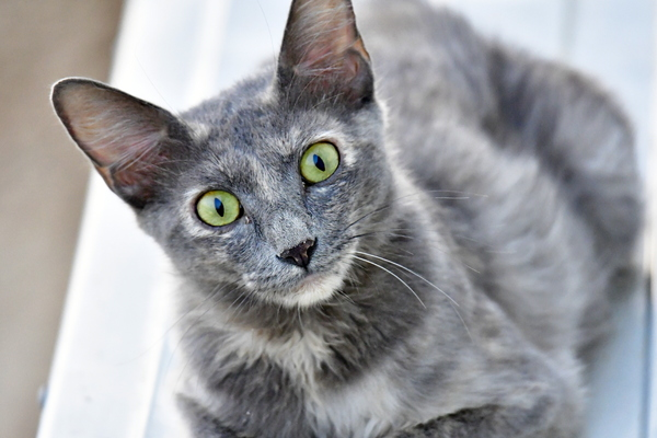 Cute Kittens in portrait pic: Grey color kitten are looking at camera in this image. Cat photography is very interesting for prints animal life cat lovers pets pet shops and pet food ads