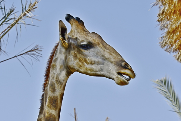 Giraffe of Africa: Giraffe, (genus Giraffa), any of four species in the genus Giraffa of long-necked cud-chewing hoofed mammals of Africa, with long legs and a coat pattern of irregular brown patches on a light background