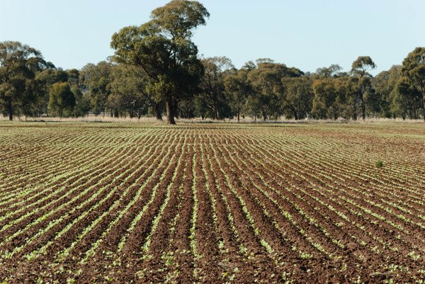 agriculture: a young healthy canola crop growing in  a rural paddock