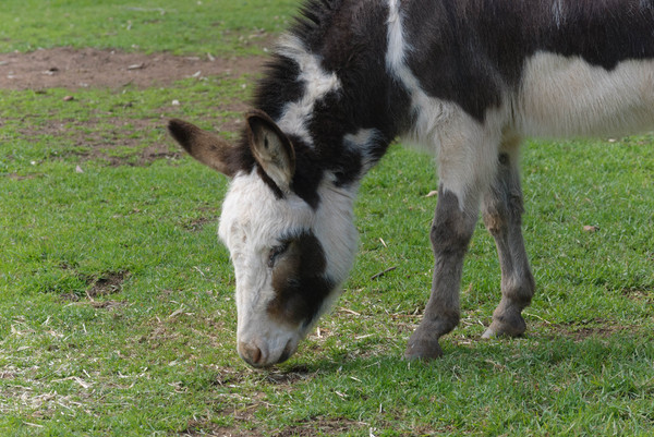 mammal: young donkey grazing in paddock
