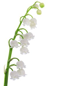 Lily-of-the-Valley: Lily-of-the-Valley macro, isolated on white background.