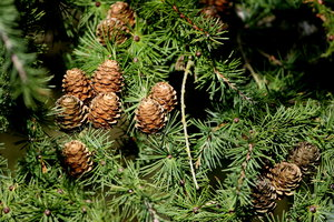 Pine tree and cones: Pine tree and cones