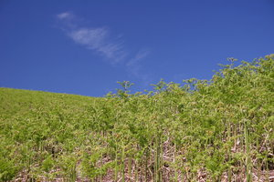 Fern and Sky: Landscape of a hill covered with fern and blue sky