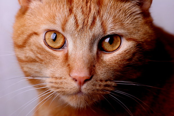Cat close-up: Portrait of a ginger cat