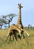 Fighting Giraffes 4: Giraffe bulls (males) fighting for  domination by hitting each other with necks and horns