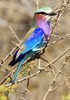 Lilacbreasted Roller (troupant: General - They are medium sized birds with a lilac breast and azure blue abdomen. The bird has 7 different shades of blue. Forehead and brow are whitish, the back is brown. The pointed blue outer-tail feathers are elongated to form pointed streamers.Distr