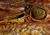 Croc eye: `close-up of a Nile Crocodile's eye and ear