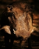Warthog: Warthog in the late afternoon sun