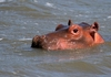 Hippopotamus (Hippo) family 5: Hippo Family pics, responsible for more human deaths than any other animal in the African wild, however not counted under the