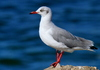 Indian Ocean Seagull: Seagull at the Indian Ocean Coast in South Africa