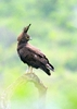 Long-Crested Eagle 1: Long-Crested Eagle looking for a food opportunity. They have beautiful white spots on their wings when in flight