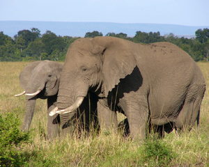 African Elephant: African Elephants in the wild in Africa