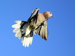 Dove Take-off 1: