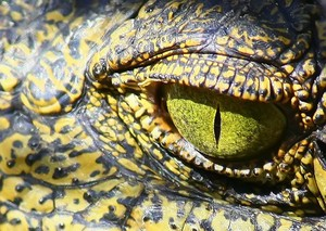 Nile Crocodile Eye: Close-up picture of the Nile Crocodile. eye.  They shine flourecent (like other animal eyes) at night in bright light.