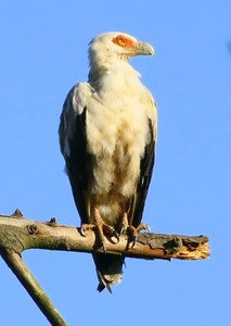Palmnut Vulture in tree and ta: A Palmnut Vulture sitting in tree and taking off. They are only found in small area on the Kzn coast of Southarn Africa, and the Okavango Delte in Botswana.