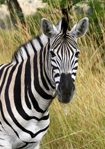 Zebra - South African: South African Zebra, different from the ones found in the Serengeti, with lighter  black strips, and white back and stomach