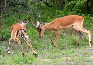 Impala Fighting 2: Male impalas using their horns to fight for leadership, females don't have horns