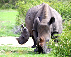 Rhino with Young - various 1: A White Rhino cow with baby