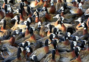 White Faced Ducks: Group of White Faced Ducks grouping together - also called whistling ducks