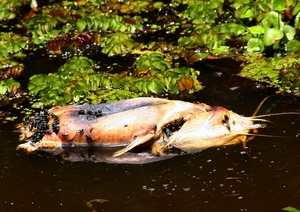 Water Pollution 2: Flies on a  dead fish (Barbel) floating in polluted waters