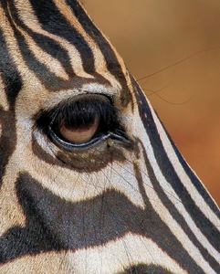 Zebra Eye 2: various Close-up's pics of Zebra eyes
