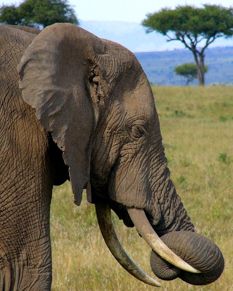 Sleepy African Elephant: African Elephant sleeping in the Serengeti