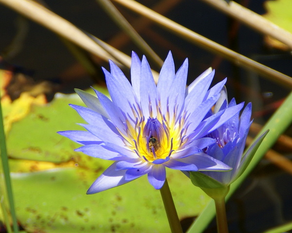 Birds, Bees, Flowers and Trees: honey bee in a water lilly
