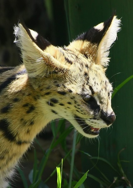 African Cats:Serval Cat (tierb: African Serval Cat , easy to identify with the large spotted, smaller body and large ears, commonly found in trees.